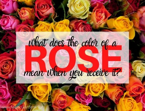 Meaning Of a Rose Based on Color